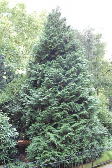 Сексуальное размножение у хвойных деревьев