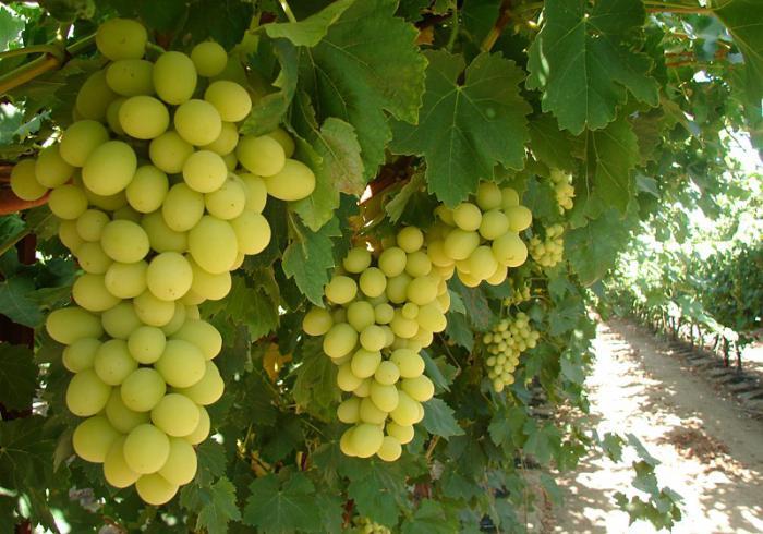 Сорт винограда преображение описание