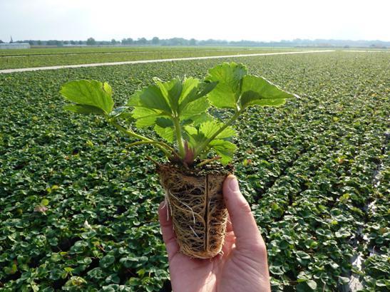 Как выращивать клубнику в теплице круглый год для продажи