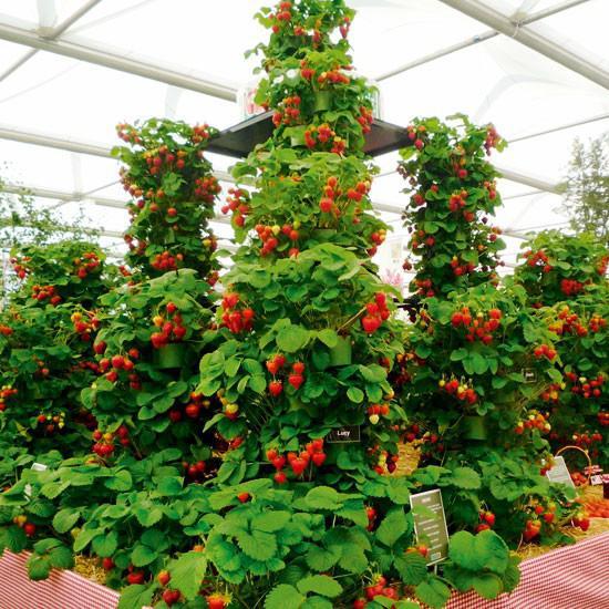 Выращивание клубники в теплице круглый год урожайность