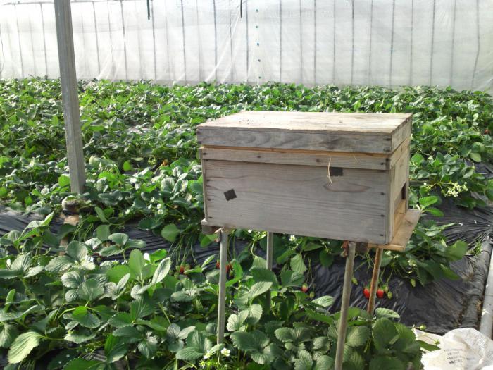 Выращивание клубники в теплице круглый год бизнес