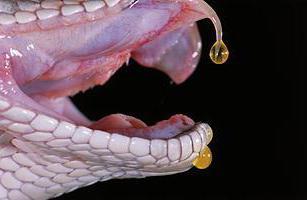 Что делать если укусила ядовитая змея
