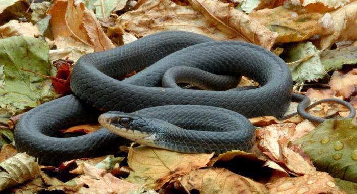 При укусе змеи что делать? Первая помощь при укусе змеи