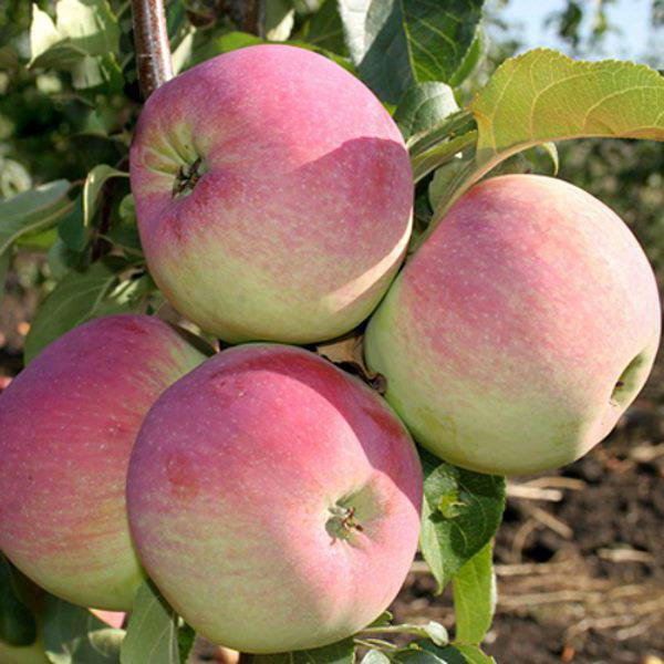свежесть яблоня