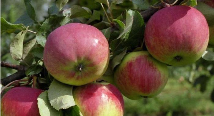 свежесть яблоня описание