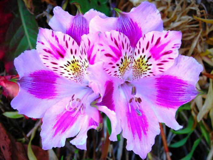 альстромерия значение цветка и уход