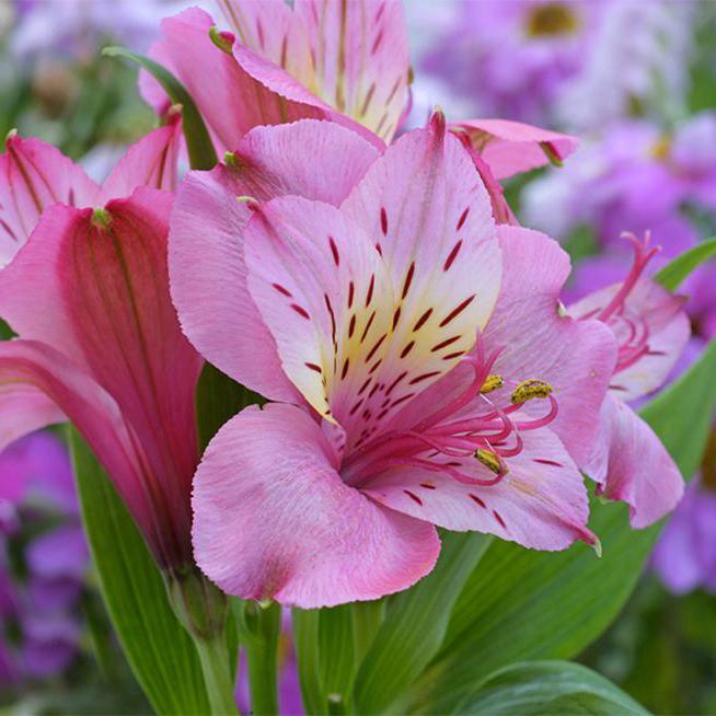 альстромерия значение цветка фото