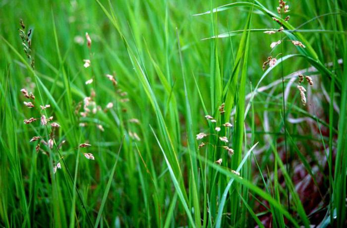 Sweetgrass что это за растение