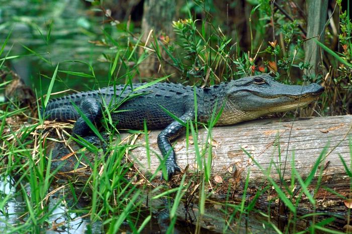 аллигатор на болоте окифиноки