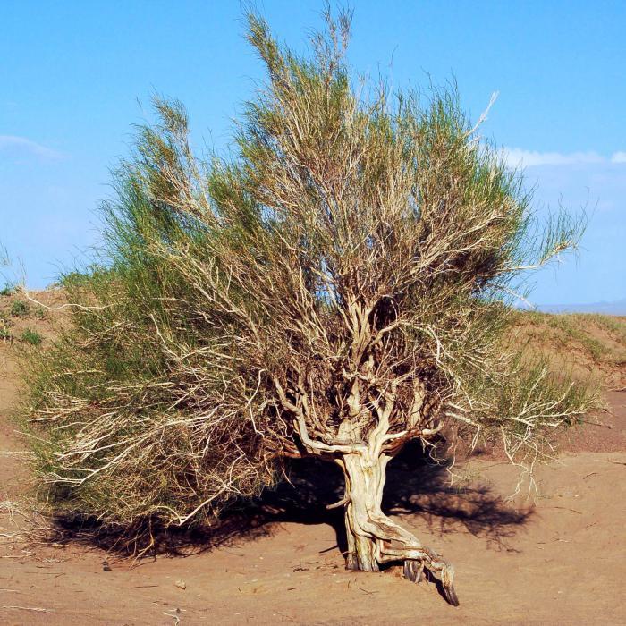 черный саксаул растение пустыни