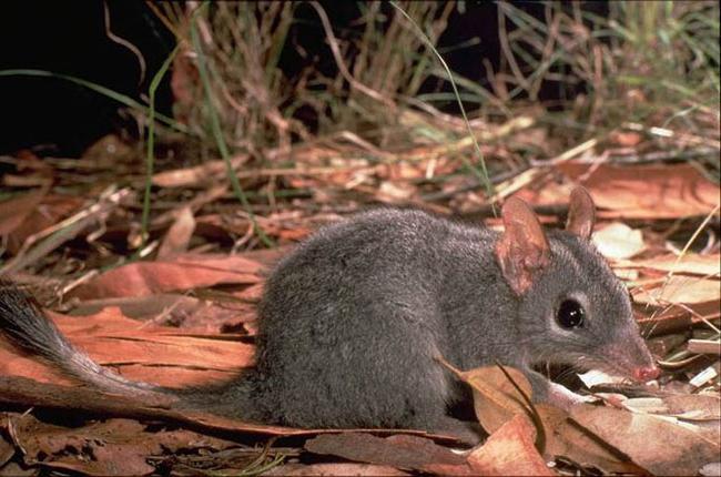 большая сумчатая крыса