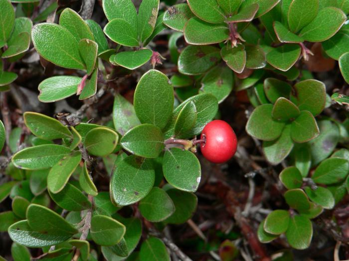 Медвежья ягода: лечебные свойства и применение в народной медицине