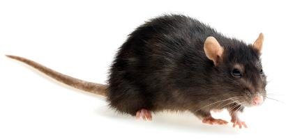 домовые мыши в мире