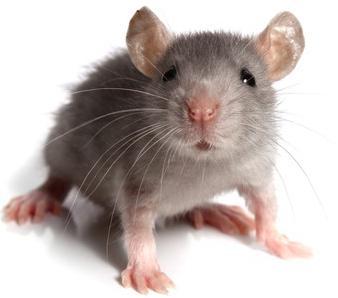домовые мыши борьба