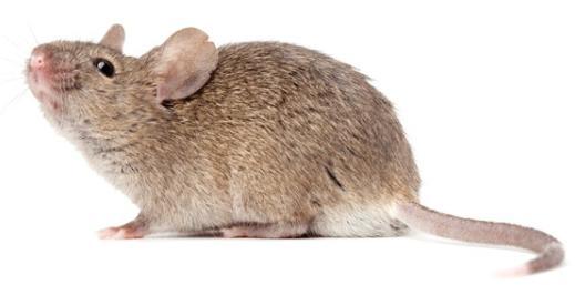 домовые мыши как избавиться
