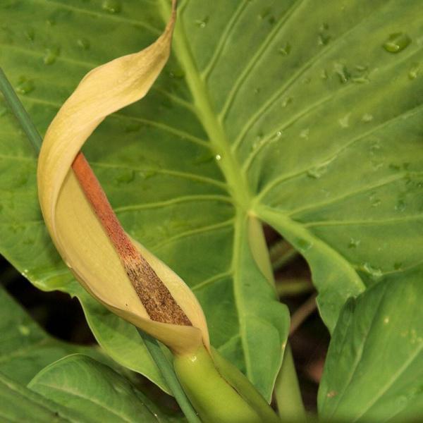 растение алоказия лечебные свойства