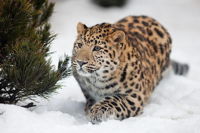 Амурский леопард дальневосточный: описание, фото