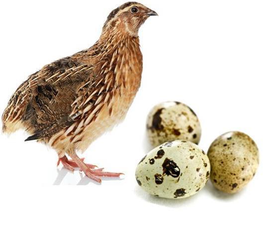 перепелиные яйца натощак