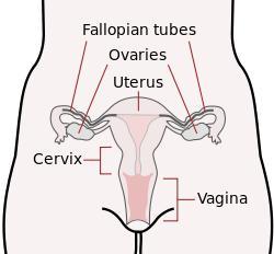Фаллопиевы трубы у женщин 14