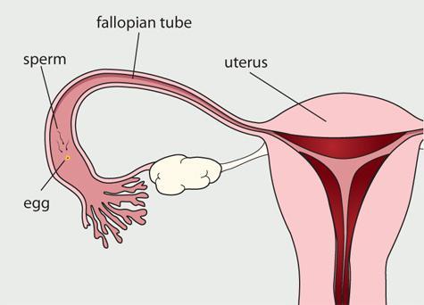 Фаллопиевы трубы у женщин 13