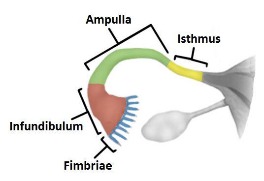 Фаллопиевы трубы у женщин 12