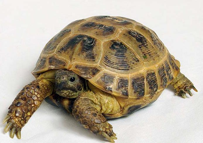 панцирь сухопутной черепахи