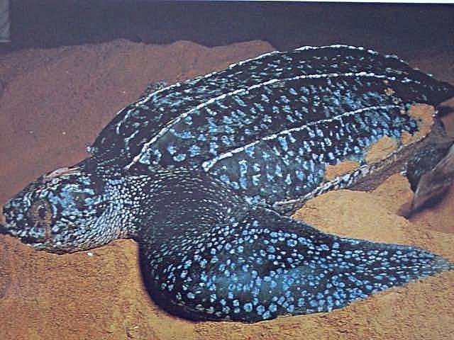 белые пятна на панцире у черепахи