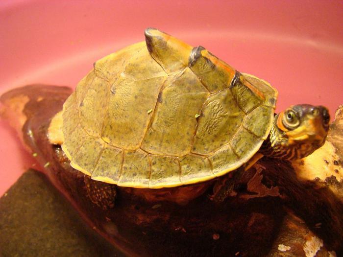 у красноухой черепахи мягкий панцирь