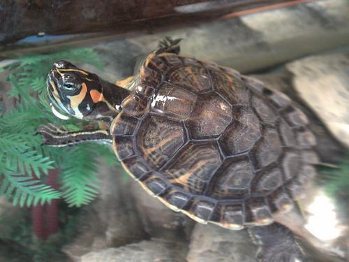 на панцире красноухой черепахи пятна