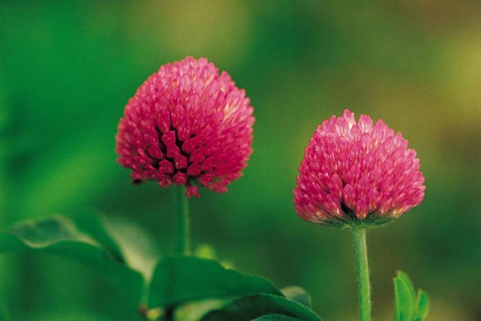 цветки клевера лечебные свойства