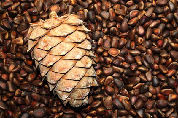 семена шишки сосны