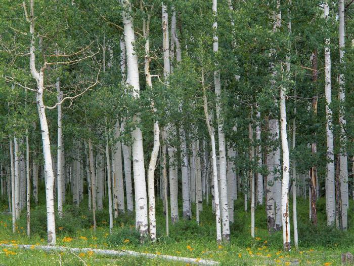 Береза пушистая лесообразователь