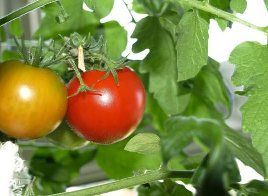 салат из красного помидора на зиму