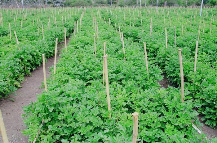 средняя урожайность картофеля