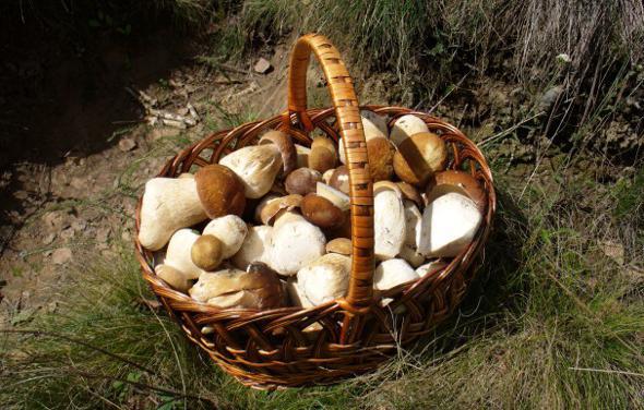 грибы срезать или выкручивать