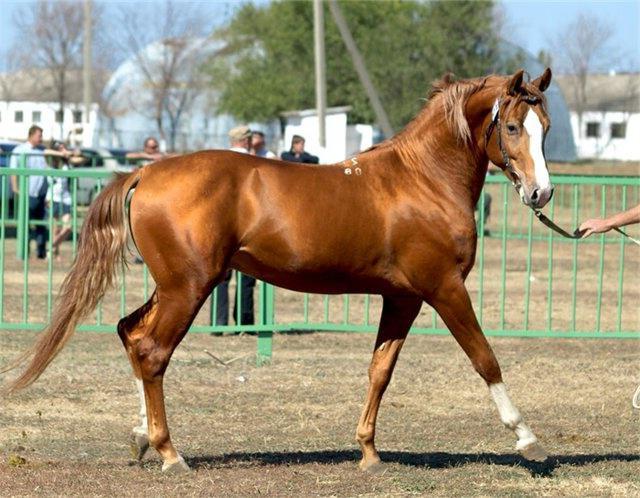 донская порода лошадей характеристика