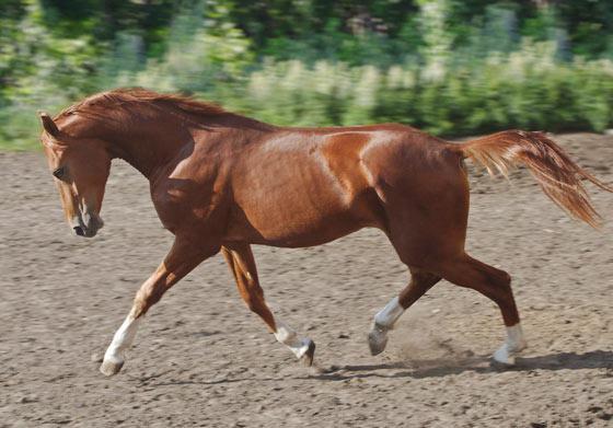 донская порода лошадей описание