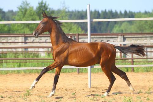 кони донской породы