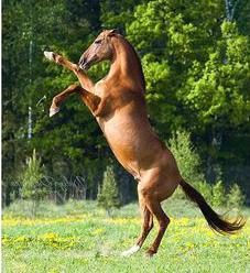 донская порода лошадей характер