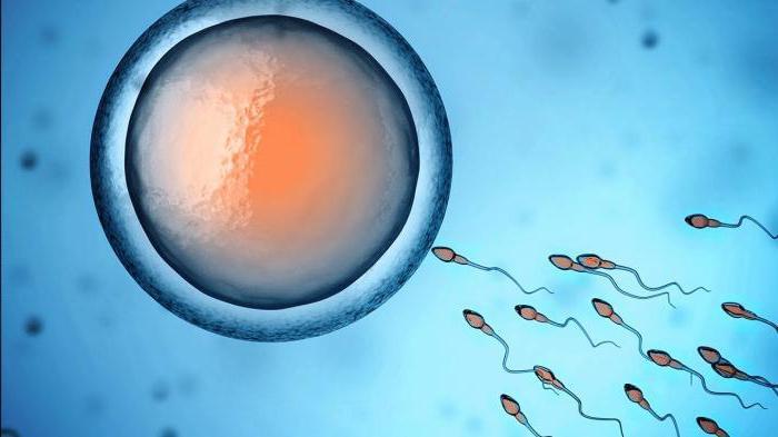 tsikloferon-vliyanie-na-spermatozoidi