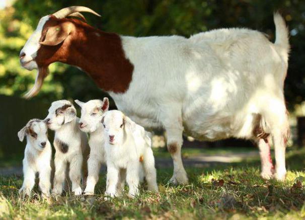 первая случка коз