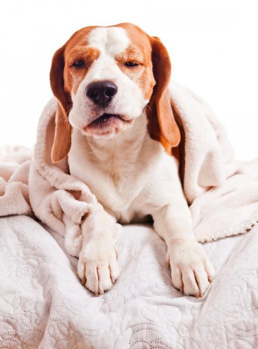 Собака кашляет как будто подавилась что делать
