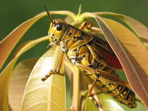 насекомое саранча
