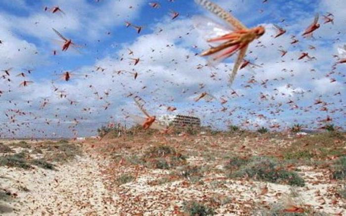 насекомое саранча описание