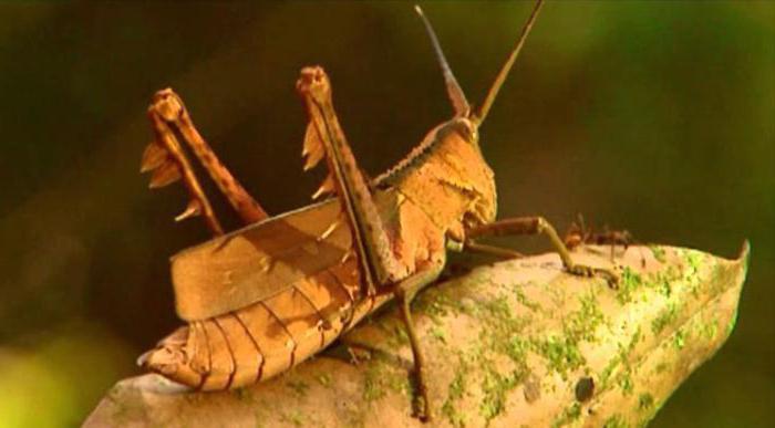 насекомое саранча фото