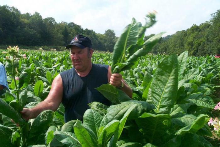 Табак растение