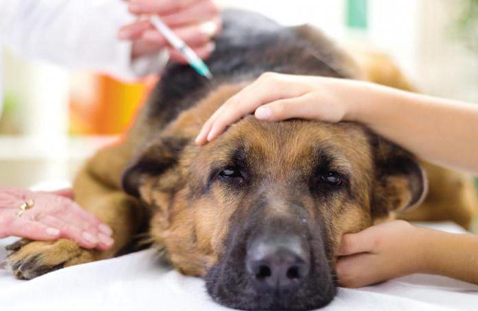 Как долго можно давать собаке преднизолон