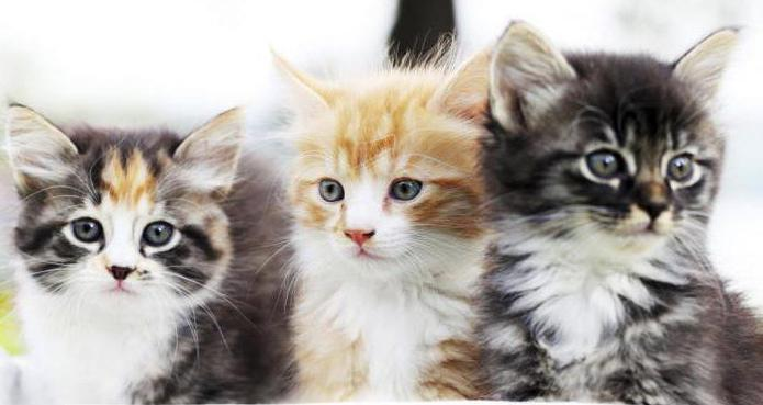 Лекарь кошка