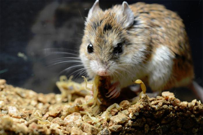 фото полевой мыши