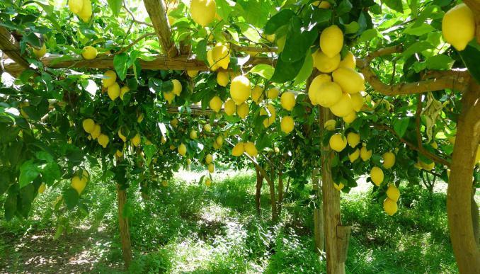 К чему снятся лимоны: сонник